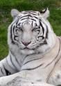White tiger Ornaments