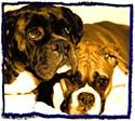 Boxer dog Undergarments
