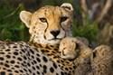 Cheetah Wall Decals