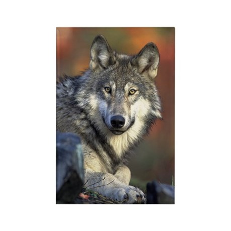 Gray Wolf Rectangle Magnet (10 pack)