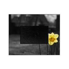 selective colour daffs Picture Frame