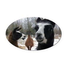 Llamas larger Oval Car Magnet