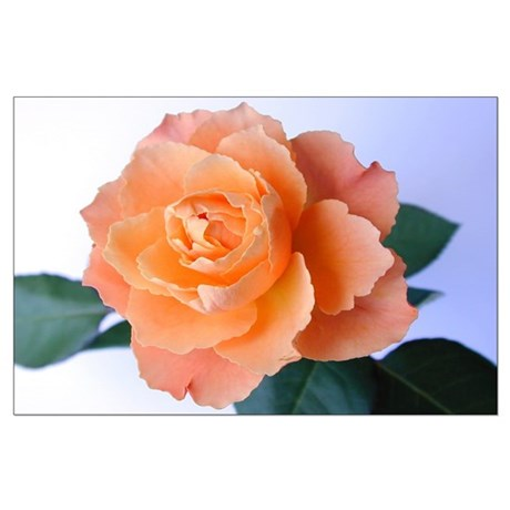 Orange Rose Large Poster