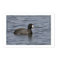 American Coot Postcards (Package of 8)