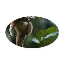 Slow loris (Nycticebus coucang) on Oval Car Magnet