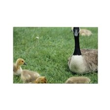 Canadian goose with goslings, Min Rectangle Magnet