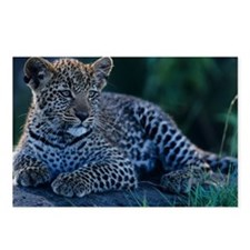 Young Leopard (Panthera p Postcards (Package of 8)