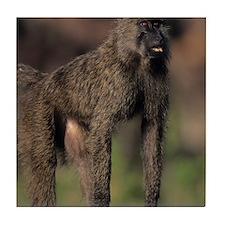 Olive baboon (Papio anubis), on savan Tile Coaster