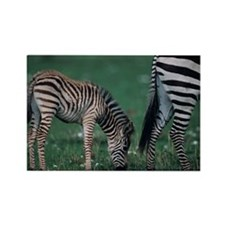 Young Burchells zebra (Equus burc Rectangle Magnet