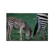Young Burchells zebra (Equus burc Rectangle Magnet