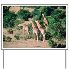 Giraffes on savanna, Kenya Yard Sign