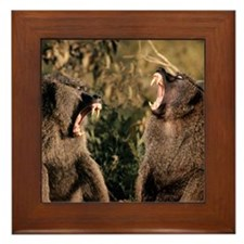 Pair of snarling baboons Framed Tile