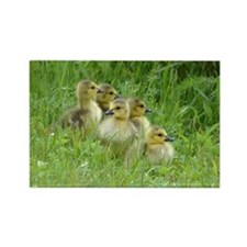 5 Goslings Rectangle Magnet