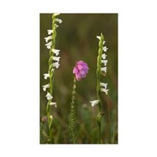 Spiranthes aestivalis and Eric Decal
