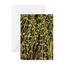 Sea grape (Ephedra distachya) Greeting Card