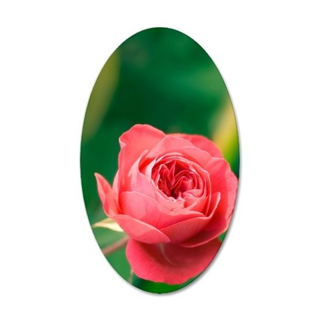 Red rose (Rosa hybrid) 35x21 Oval Wall Decal