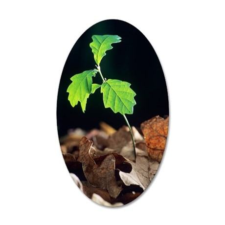 Oak tree (Quercus sp.) seedl 35x21 Oval Wall Decal