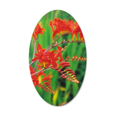Montbretia flowers 35x21 Oval Wall Decal
