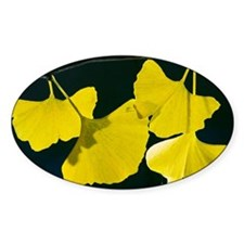 Maidenhair Tree (Ginkgo biloba) Decal