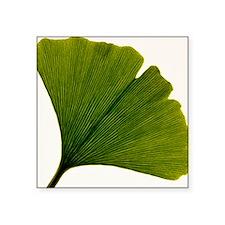 """Leaf of Ginkgo biloba Square Sticker 3"""" x 3"""""""