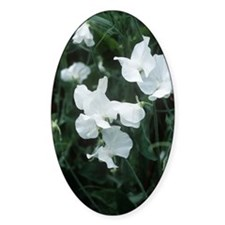 Lathyrus odoratus 'White Supreme' Decal