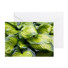 Hosta 'Stained Glass' Greeting Card