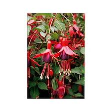 Fuchsia 'Mrs Popple' Rectangle Magnet