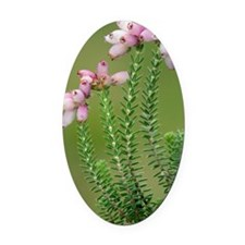 Cross-leaved heath (Erica tetralix Oval Car Magnet