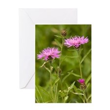 Common kanpweed (Centaurea nigra) Greeting Card