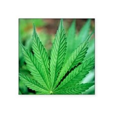 "Cannabis leaves Square Sticker 3"" x 3"""
