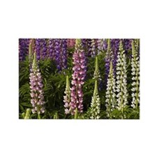 Lupine flowers in a garden Rectangle Magnet