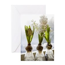 White hyacinths in a window, Sweden. Greeting Card