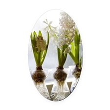 White hyacinths in a window, Swede Oval Car Magnet