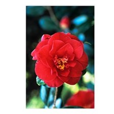 Camellia flower Postcards (Package of 8)