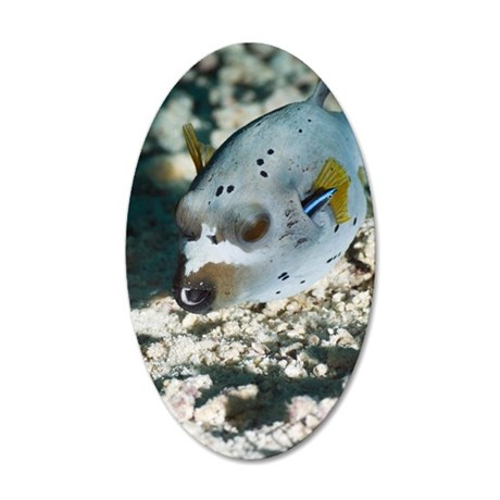 Blackspotted puffer 35x21 Oval Wall Decal
