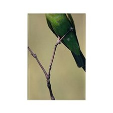 Blue-cheeked bee-eater, breeding, Rectangle Magnet