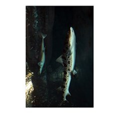 LEOPARD SHARK  BROADNOSE  Postcards (Package of 8)