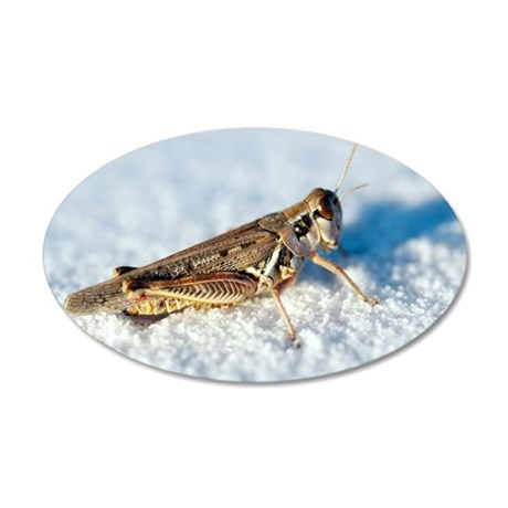 Desert locust, on white gyps 35x21 Oval Wall Decal