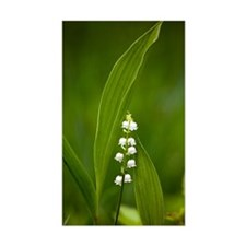 Convallaria majalis (Lily of t Decal
