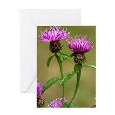 Common Knapweed (Centaurea nigra) Greeting Card