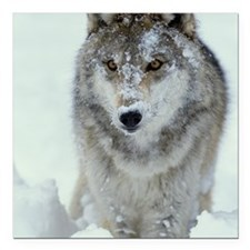 """GREY WOLF WITH SNOW COVE Square Car Magnet 3"""" x 3"""""""