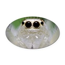 Jumping Spider Close Up Oval Car Magnet
