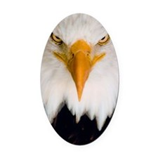 Fierce stare of a bald eagle Oval Car Magnet
