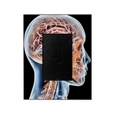 Internal brain anatomy, artwork Picture Frame
