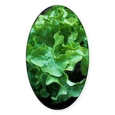 Organic lettuce (Lactuca 'Salad Bow Decal