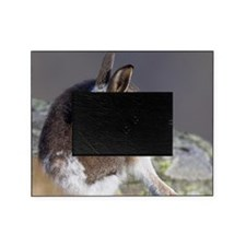 Mountain hare moulting Picture Frame