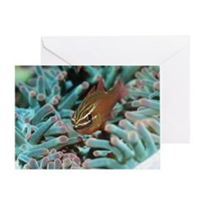 Moluccan cardinalfish Greeting Card