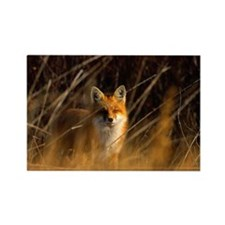 Red fox Vulpes vulpes Manitoba, C Rectangle Magnet