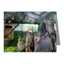 Cockatiels Note Cards (Pk of 10)
