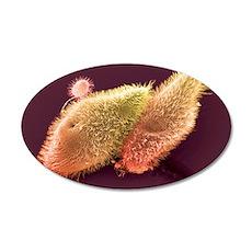 Paramecium protozoa, SEM 35x21 Oval Wall Decal